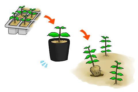 鉢植え 植え付け アスター 苗 鉢上げ 定植 種まき