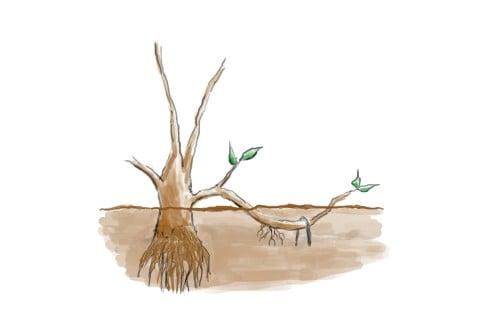 伏せ枝法 増やし方 取り木