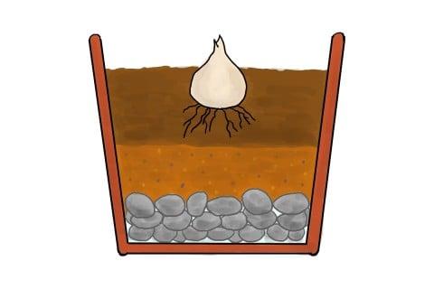 ネリネの植え方 鉢植え 球根