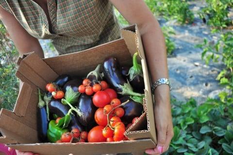 野菜 栽培 収穫 有機栽培 トマト なす 夏野菜