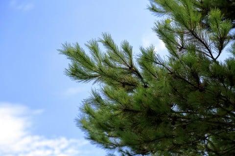 マツ 松 木 枝 空 地植え