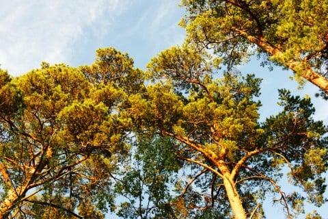 松 マツ 空 地植え 樹高 庭木