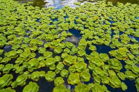 サンショウモ 浮遊植物 水生植物 水 池