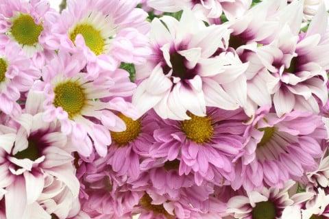 スプレーギク ポットマム ピンク 花 菊