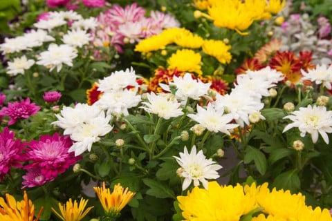 スプレー菊 スプレーマム ポットマム 黄色 白 ピンク 紫 いっぱい 地植え