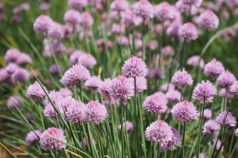 チャイブ 草 葉っぱ 地植え 花 紫 ハーブ