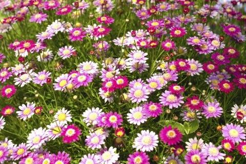 マーガレット 白 ピンク 寄せ植え 地植え