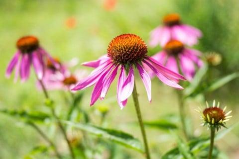 エキナセア ピンク 花 自生 地植え