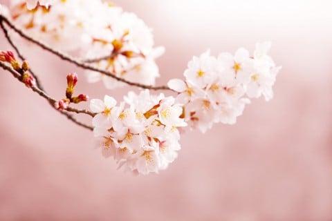 桜 花 枝 ピンク