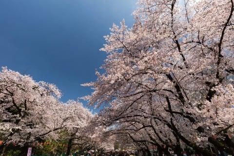 桜 地植え 花 公園 ピンク 空