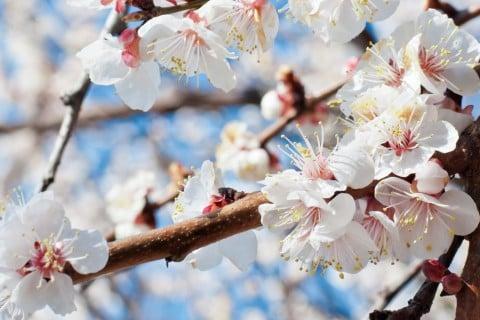 桜 空 花 枝 木 ピンク