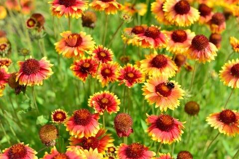 ガイラルディア 地植え 花 オレンジ 黄色 複色 テンニンギク