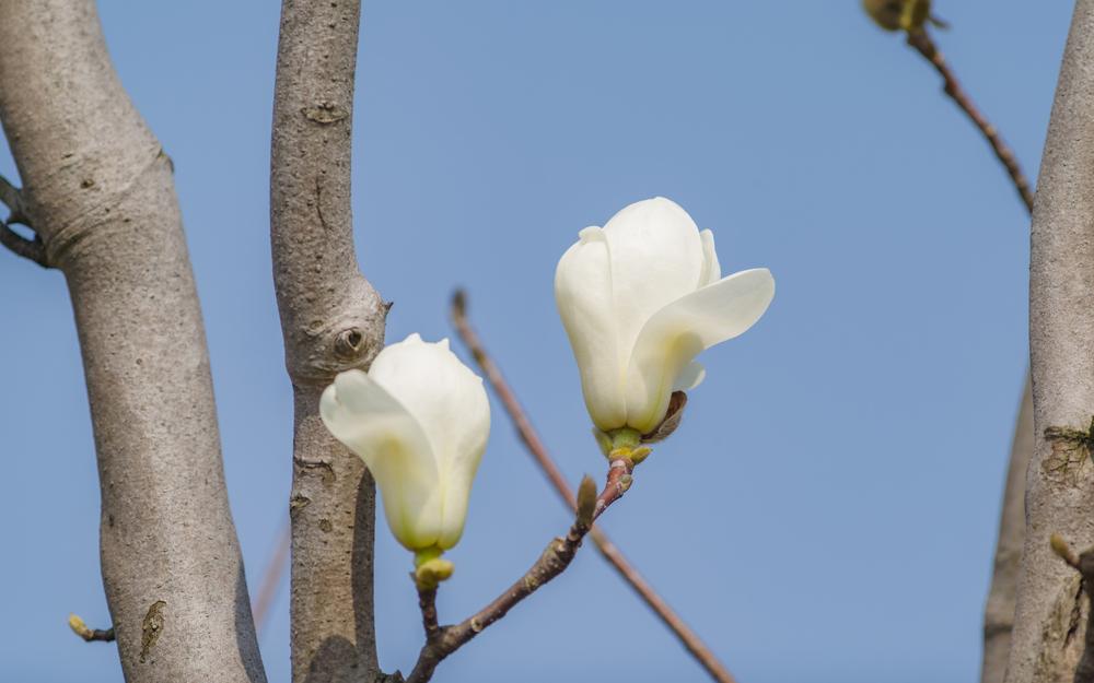 モクレン(マグノリア) 花 白