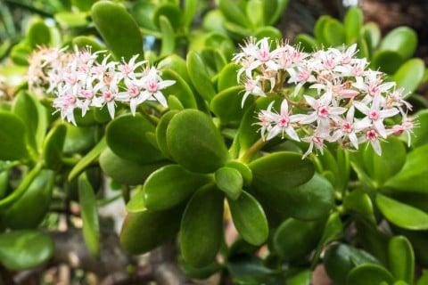 金のなる木 花 カネノナルキ 白 鉢植え