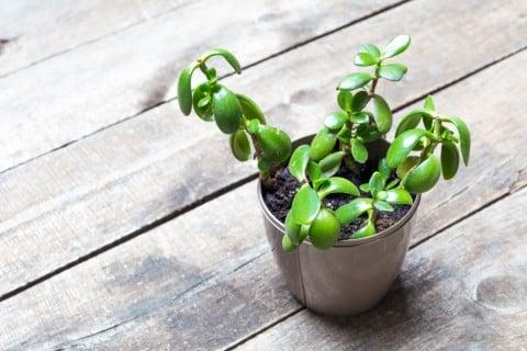 金のなる木 カネノナルキ 鉢植え テーブル 室内 屋内 クラッスラ