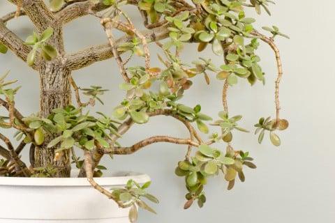 カネノナルキ 金のなる木 鉢植え