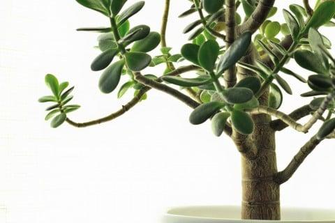 金のなる木 カネノナルキ 花月 鉢植え