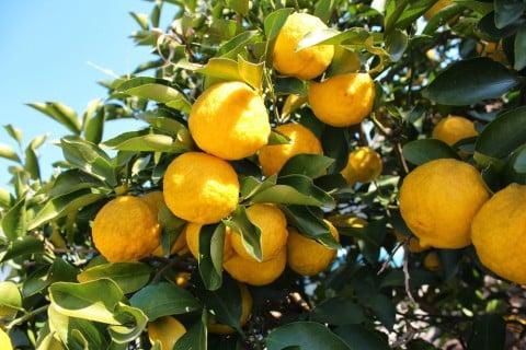 ユズ 木 柚子 地植え 空 実 黄色