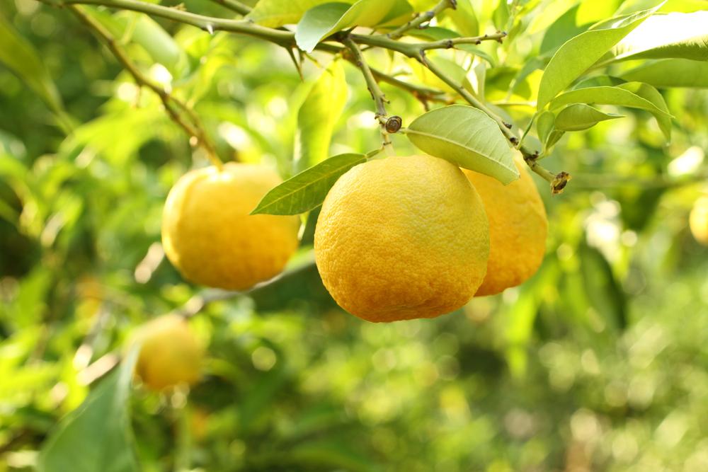 柚子 木 ユズ 実 黄色 地植え