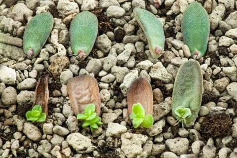 エケベリア 多肉植物 葉挿し 葉っぱ 増やし方