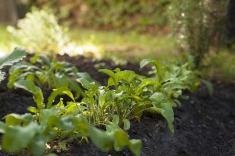 ルッコラ ロケット 地植え 畑 育て方 栽培 ハーブ