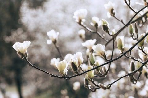 白木蓮 空 白 花 ハクモクレン 地植え