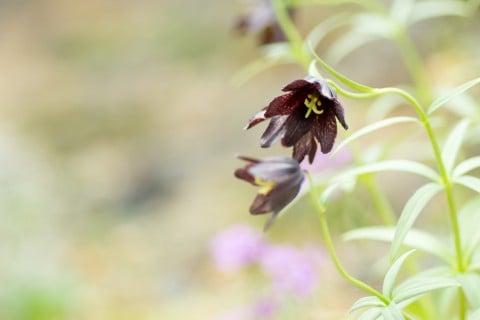 黒百合 球根 クロユリ 山野草 地植え 花