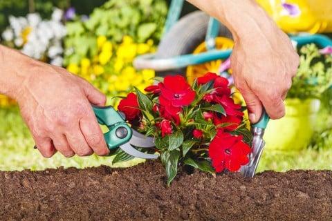 剪定 花 地植え 赤 花 ハサミ 切り戻し