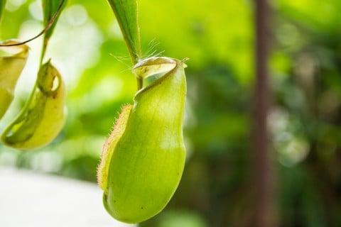 ウツボカズラ ネペンテス 緑 アップ 捕虫袋