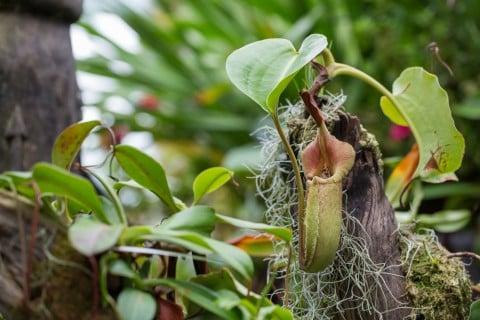 ウツボカズラ ネペンテス 地植え 自生 アマゾン 熱帯 食虫植物