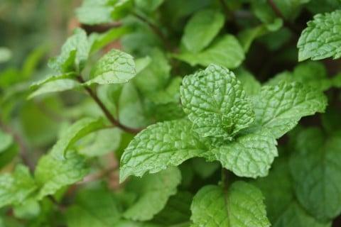 ペパーミント 葉っぱ 地植え 緑 茎