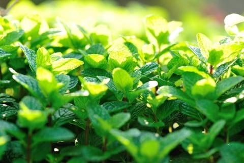 ペパーミント 葉っぱ 地植え 太陽 庭
