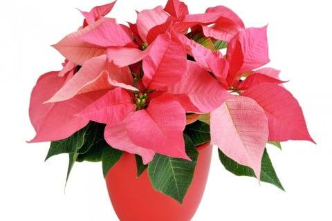 プリンセチア 鉢 花 ピンク はちうえ