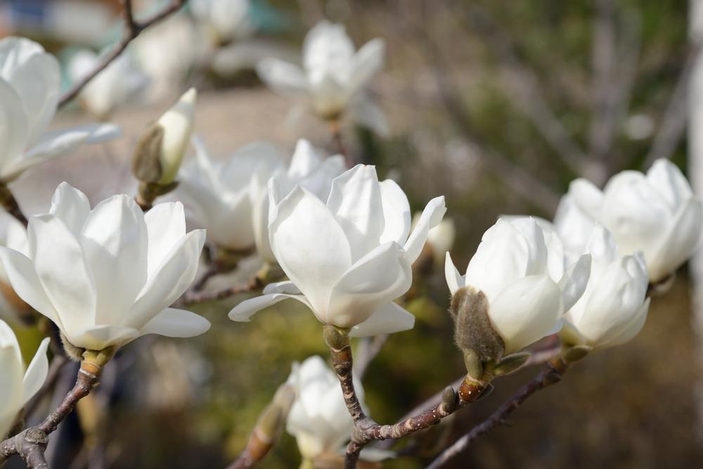 モクレン(マグノリア) 花