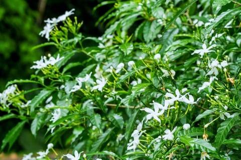茉莉花 マツリカ アラビアンジャスミン 株 地植え いっぱい 白 花