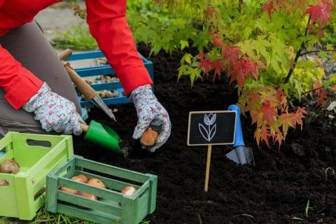 秋 球根 植え付け チューリップ 地植え ガーデニング