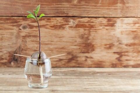 アボカド 水耕栽培 水栽培 発芽 茎 発根 横