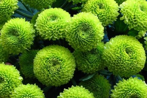 ピンポンマム ピンポン菊 ポンポンマム ポンポン菊 黄緑色
