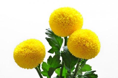 ピンポンマム ピンポン菊 ポンポンマム ポンポン菊 黄色