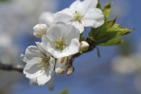 オオシマザクラ 地植え 花 桜