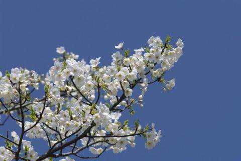 サクラ オオシマザクラ 地植え 花 桜