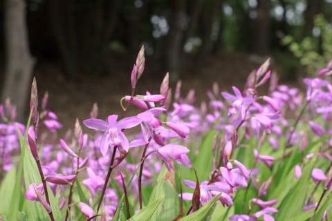 シラン 紫蘭 地植え