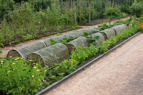 コンパニオンプランツ 畑 マリーゴールド 家庭菜園