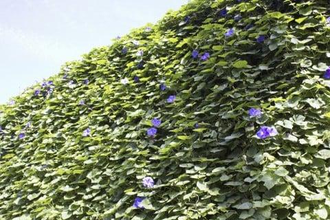 アサガオ グリーンカーテン 緑のカーテン