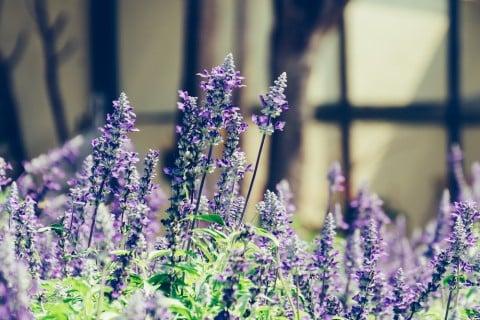 スターチス プランター 紫 花
