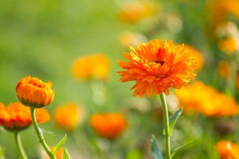 キンセンカ ポットマリーゴールド カレンデュラ 地植え オレンジ 花