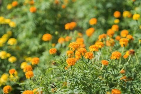 カレンデュラ 地植え オレンジ 花 金盞花 キンセンカ ポットマリーゴールド