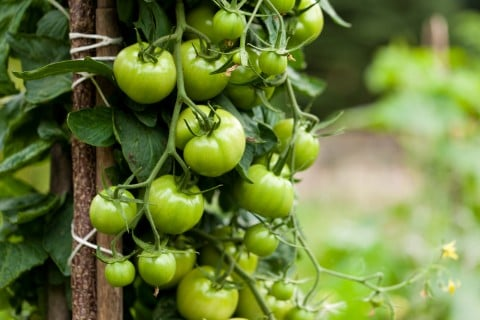 トマト 緑 実