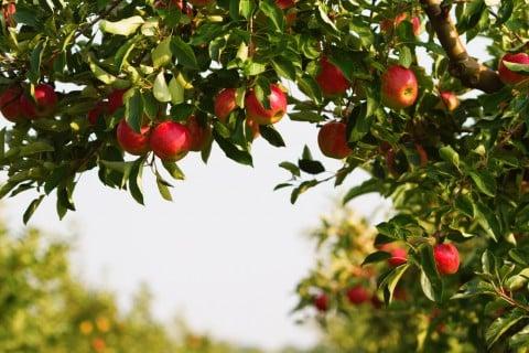 リンゴ 実 収穫 木