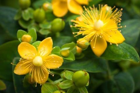 ヒペリカム 花 黄色 地植え